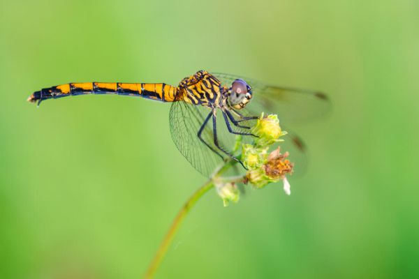 Focusing dragonfly macro photography 960x640 600x400 jpg