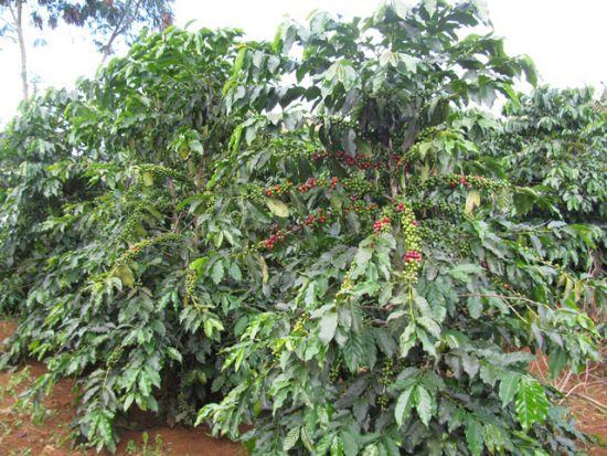 giong cay trong caphe che arabica 550x413 jpg