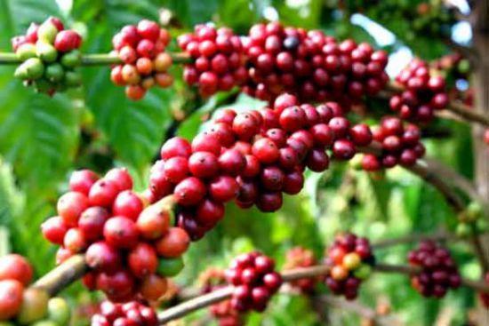 Tìm hiểu cà phê Cherry - hay còn gọi cà phê mít và Libery